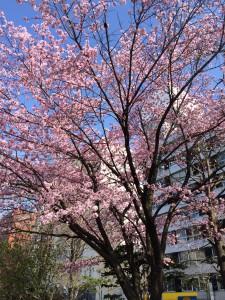 札幌行き(201405)大通公園の桜1
