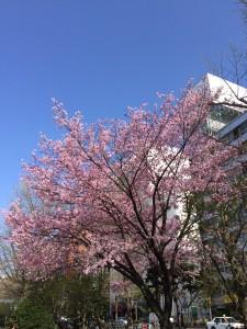 札幌行き(201405)大通公園の桜2