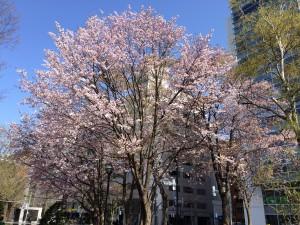 札幌行き(201405)大通公園の桜3