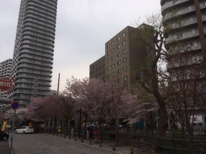 札幌行き(201405)中島公園の桜1