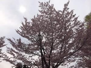 札幌行き(201405)中島公園の桜2