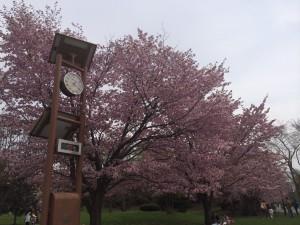 札幌行き(201405)中島公園の桜3