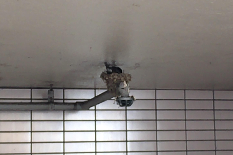 米子駅前駐車場のツバメの巣